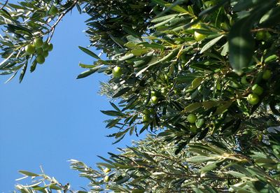 Olive Season to Forget in Croatia