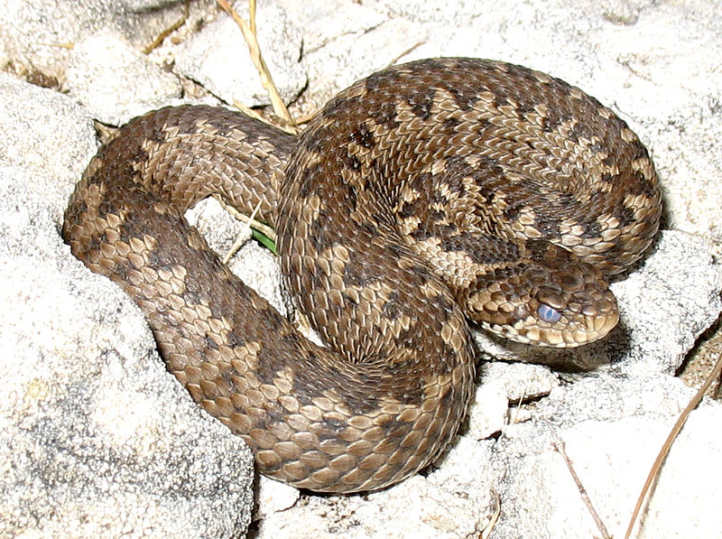 Croatia's Poisonous Snakes – What to look out for and do