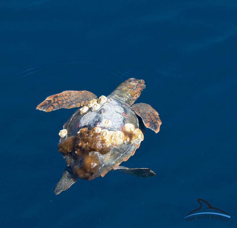 Glavata želva / Loggerhead sea turtle (Caretta caretta)