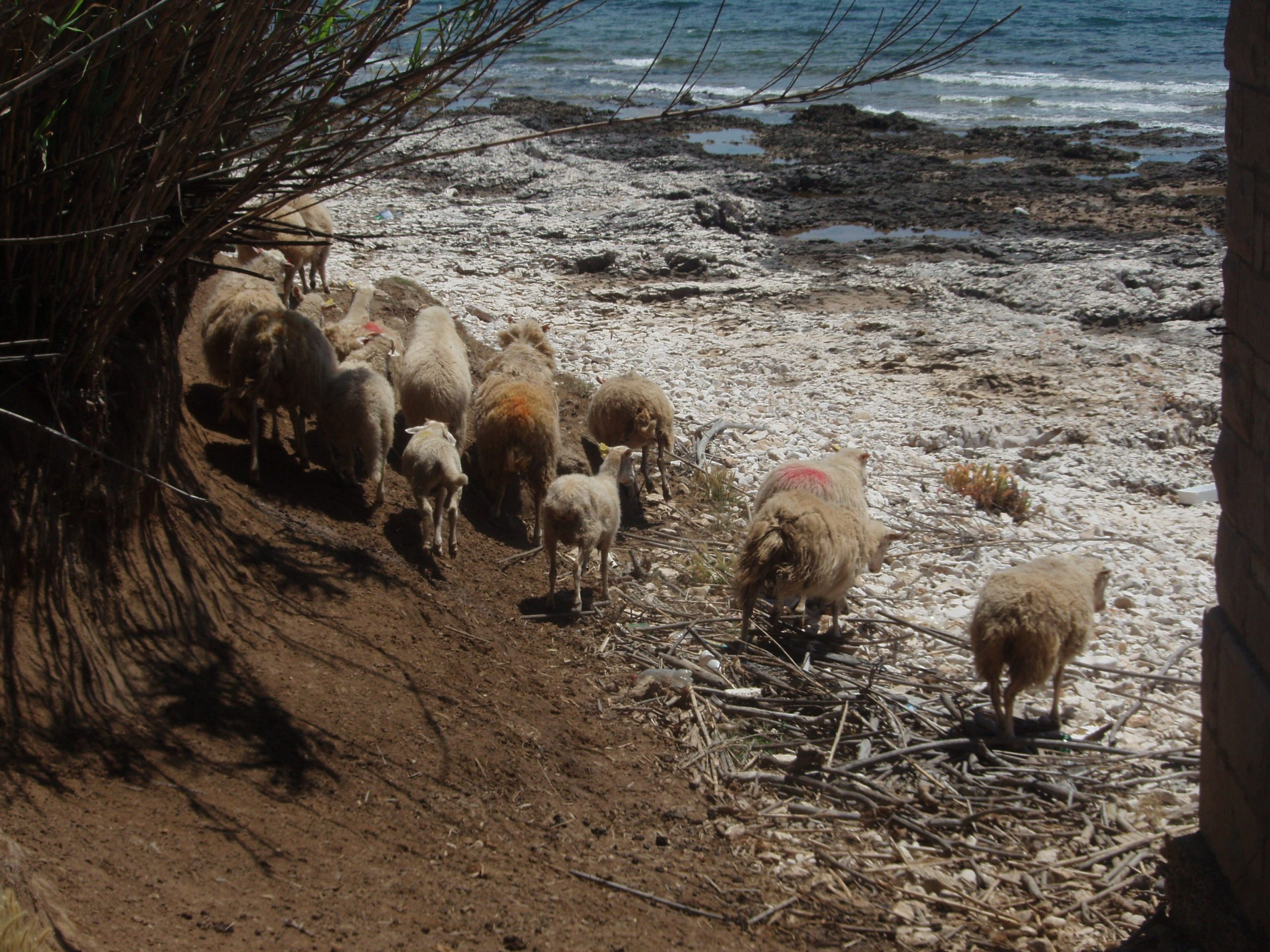 Vnetak Lighthouse sheep on the run, still not used to visitors.