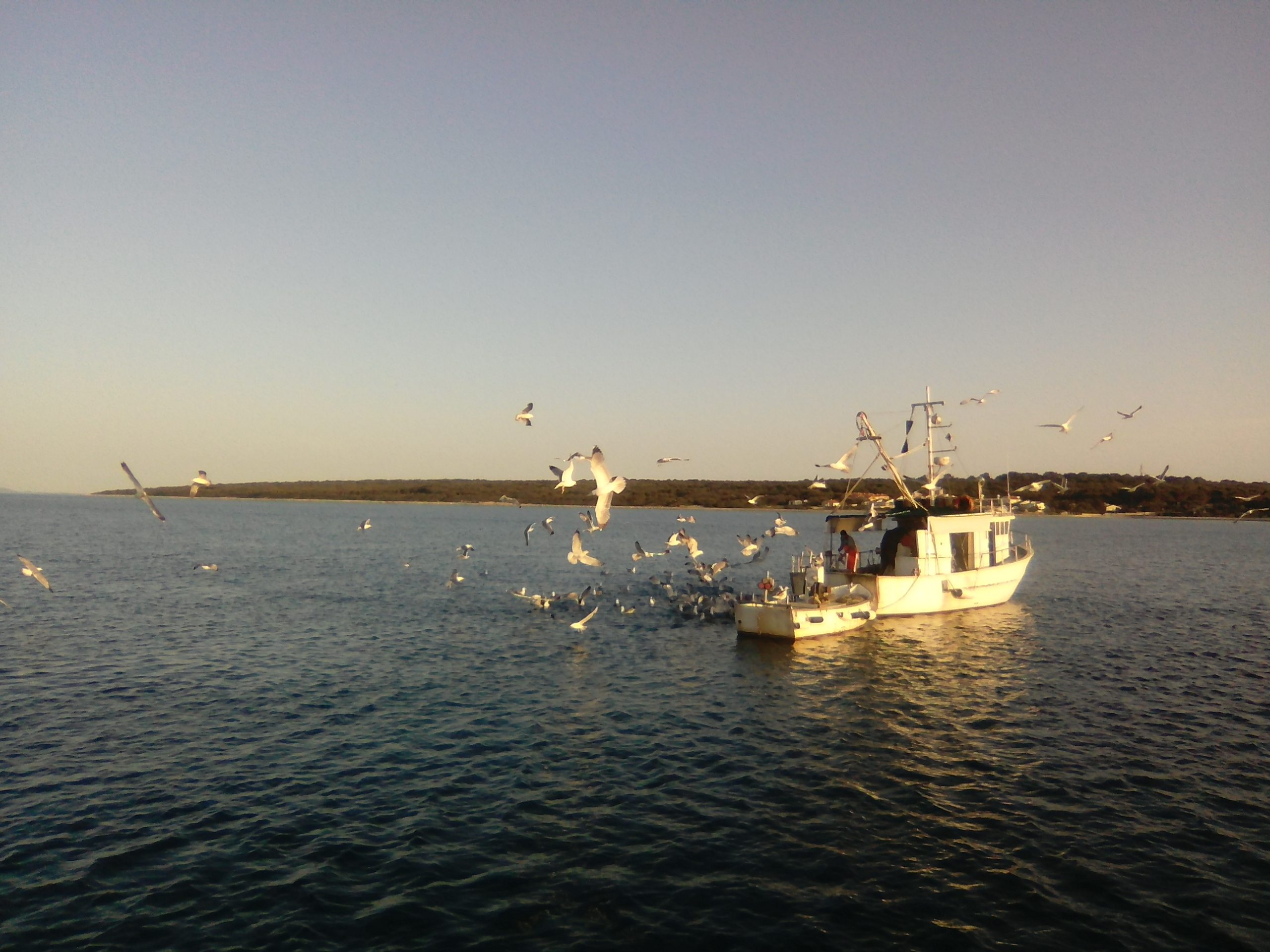 Seagulls clamouring for a fisherman's catch as he is returning to Silba's harbour of Mul in the evening.