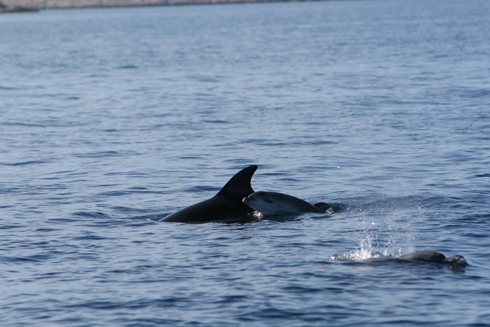 [PHOTO] Baby Dolphin Spotted Near Kornati Islands