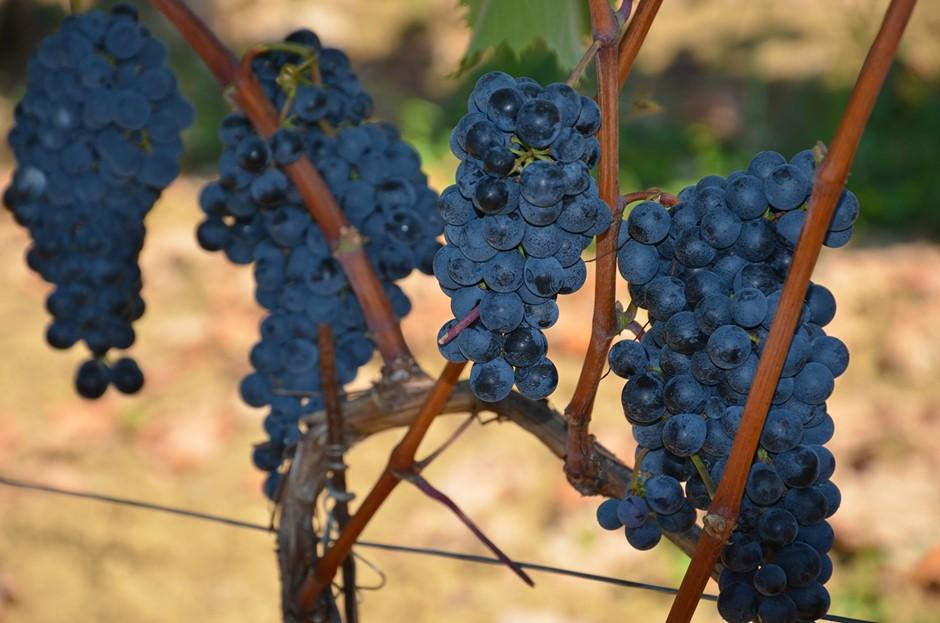 Teran grape (photo credit: www.veralda.hr)