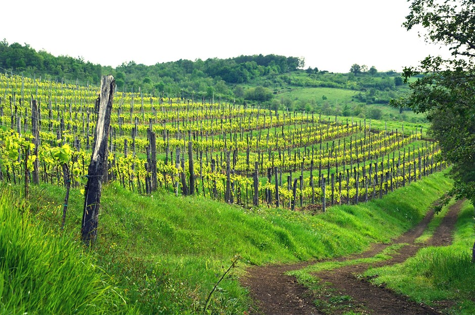 Teran vineyard (photo credit: www.veralda.hr)