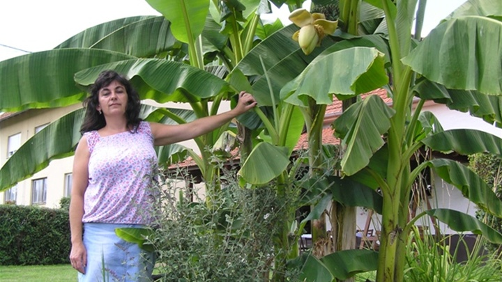 Tanja Groš with her banana plants (photo: zagorje.com)