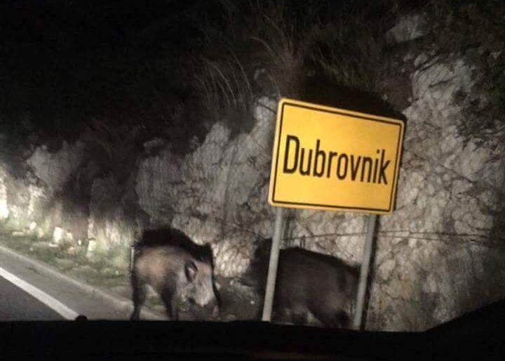 Wild boars head into Dubrovnik (photo credit: Uzivo sa dubrovackih ulica/Facebook)
