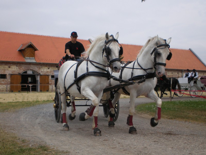 The Lipik Lipizzaners (photo credit: croatia.hr)
