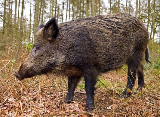 Wild Boar tend to live in forests in Croatia