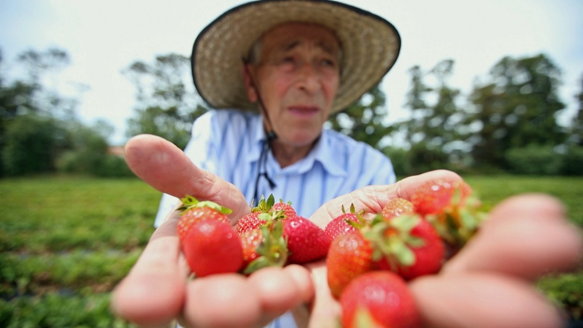 The Croatian Couple Supplying New Zealand with Strawberries for 40 Years