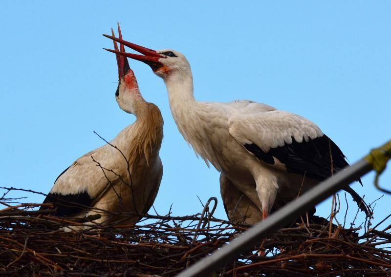 「Croatian Stork」的图片搜寻结果