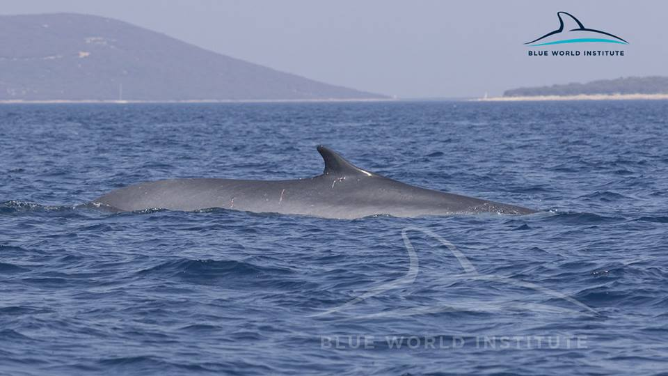 [VIDEO] 2 Fin Whales Observed Near Lošinj Island