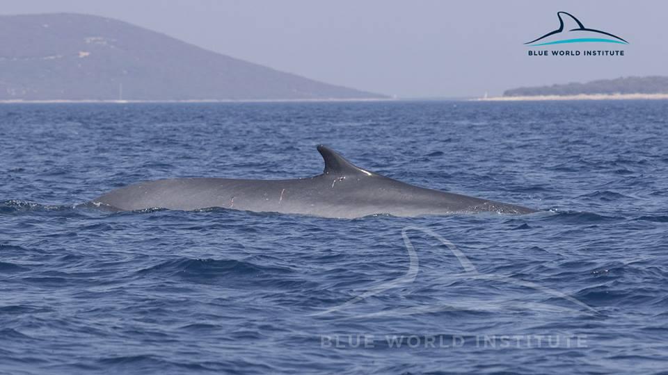 [VIDEO] 2 Fin Whales Observed Near Lošinj Island