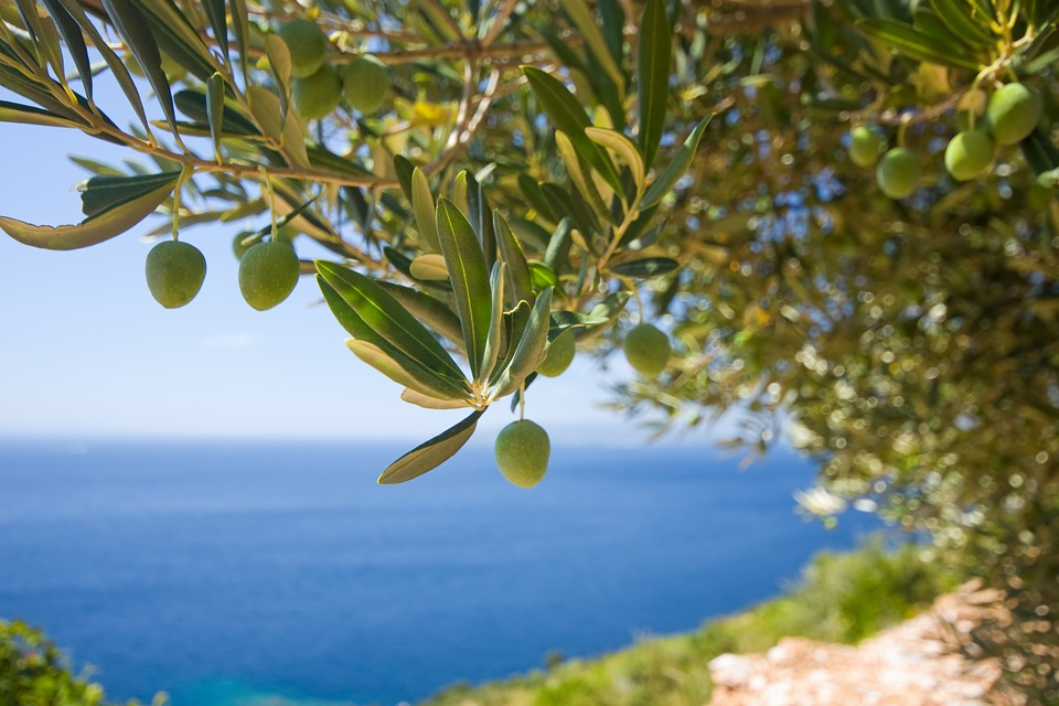 1st World Championship in Olive Picking Set to be Held on the Island of Brač