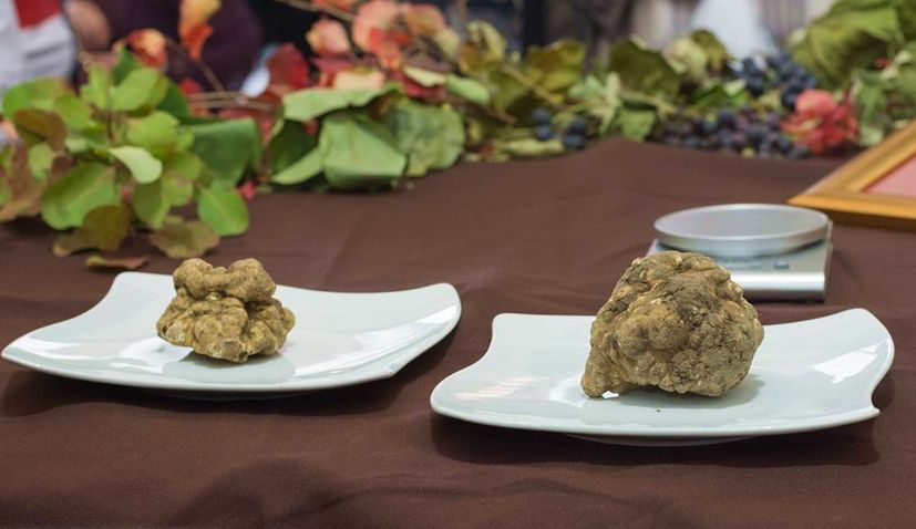 Biggest Truffle & Best Teran Wine Judged at TeTa Festival in Motovun