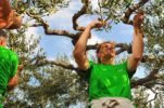 Croatia Wins 1st Olive Picking World Championship