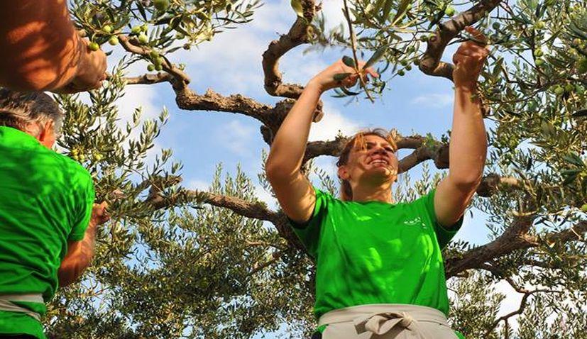 Croatia Wins 1st Olive Picking World Championship