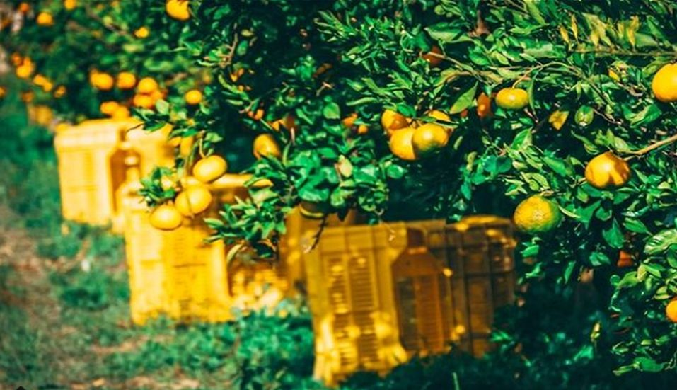 [VIDEO] Autumn Mandarin Orange Picking in Neretva Valley