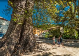 Iconic 500-Year-Old Dubrovnik Tree Nominated for European Tree of the Year