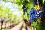 Five Indigenous Croatian Grape Varieties to be Planted in Japan