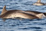 PHOTOS: Large Number of Dolphins Spotted in Northern Dalmatia