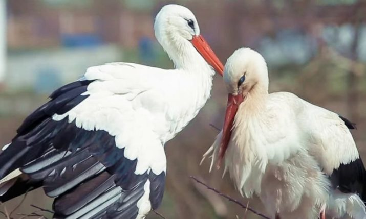 Croatian love story: Klepetan returns to Malena again