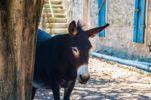 Istrian Donkey: Friend, helper & trademark of Istria