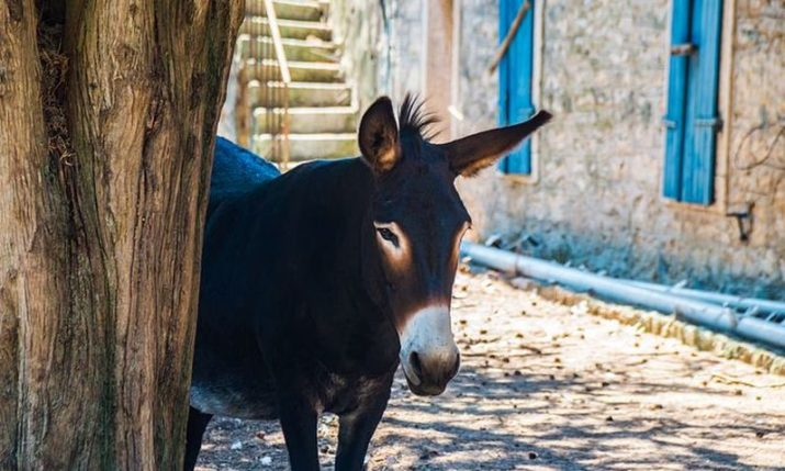 Istrian Donkey: Friend, helper & trademark of Istria