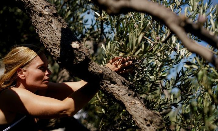 Croatians defend title as world's best olive pickers