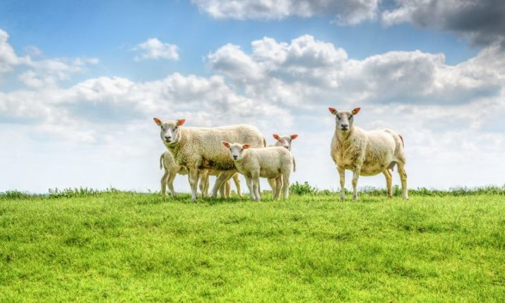 Lamb from Lika gets EU geographical protection status