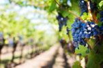 Croatians in Medjimurje will be able to tend to their vineyards in Hungary