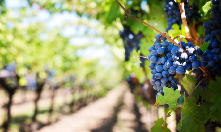 Croatia leads the EU for growth in wine production in 2018