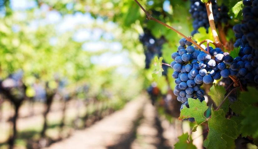Calls for aid to help Croatian winemakers hit by coronavirus crisis