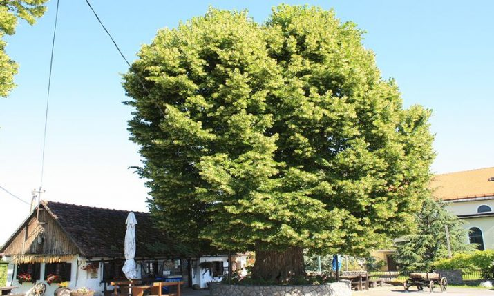 History-witnessing Croatian tree finalist for European Tree of the Year title