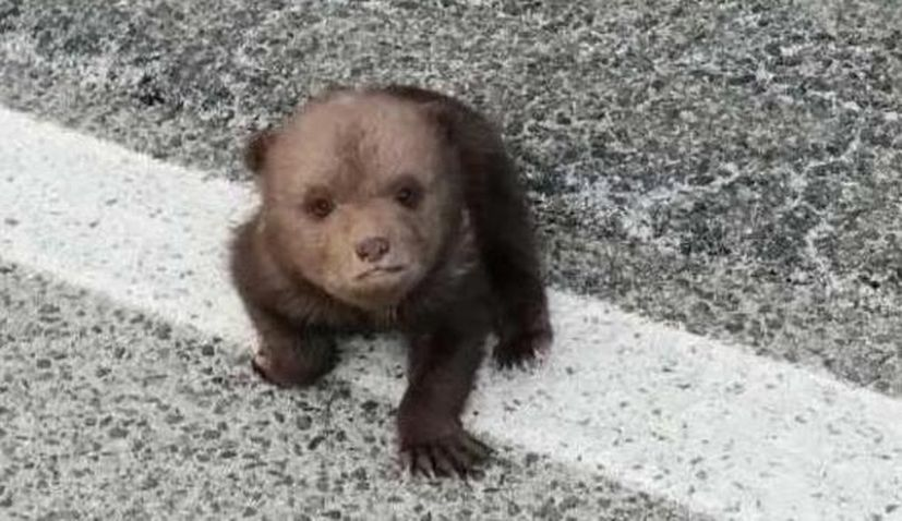 VIDEO: Matija the adorable baby bear doing well after being rescued from side of the road