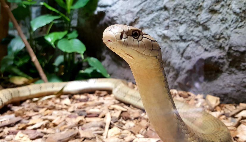 PHOTO: First king cobra in Zagreb Zoo history arrives
