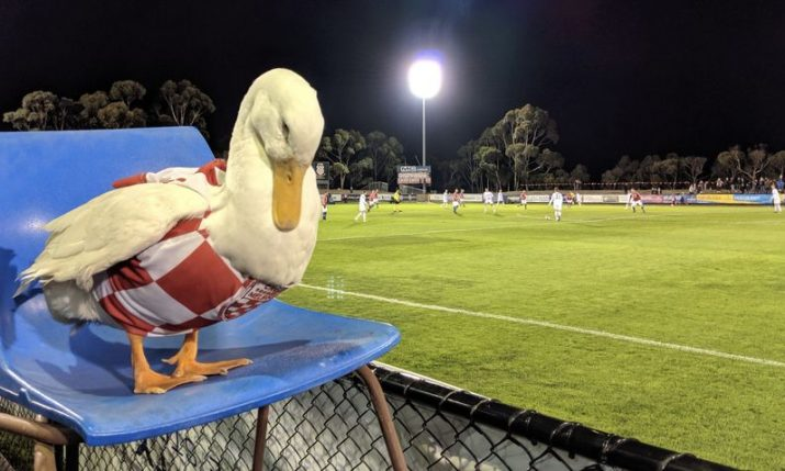 Cro Patak – Melbourne Knights' mascot steals the show