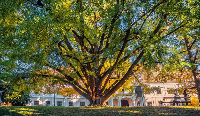 243-year-old Ginkgo in Croatia a finalist for European Tree of the Year title