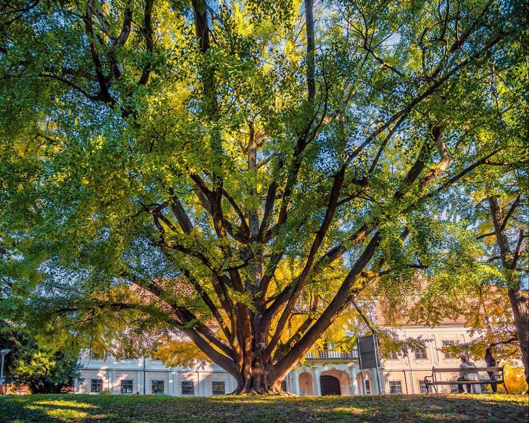 242 Year Old Ginkgo Crowned Croatia S Tree Of The Year Croatia Week