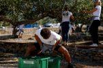 3rd World Championship in Olive Picking starts on island of Brač