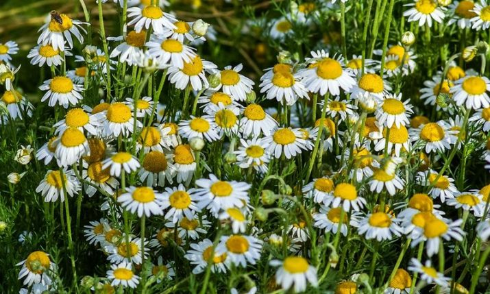 Croatian chamomile in demand over the world