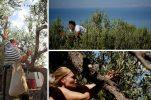 World olive harvesting championship in Postira wins creative tourism award in Spain