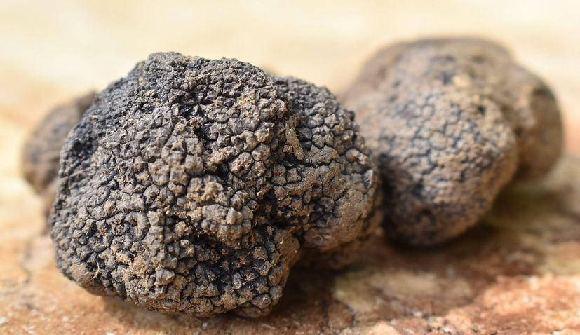 Međimurje becomes northernmost truffle location in Croatia after 3 types discovered