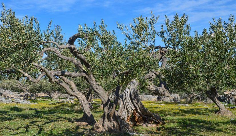 Why Brač is Croatia's olive island