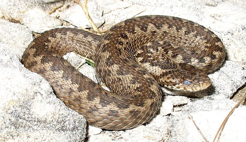 Snakes in Croatia – what to watch out for