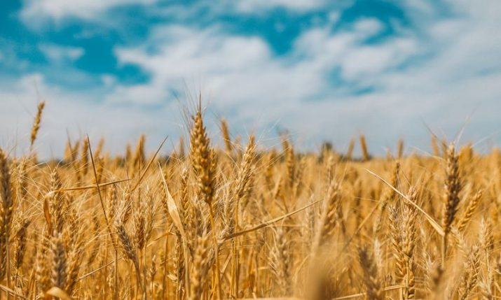 Harvest in full swing in eastern Croatia, farmers satisfied with wheat yield