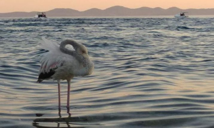 A rare sight in Croatia: Pink Flamingo spotted near Pašman island