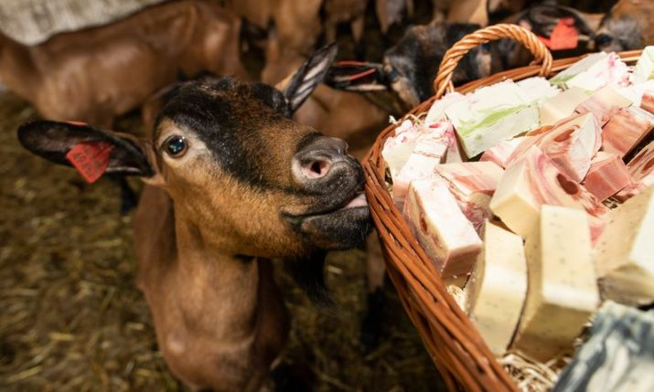 How the Croatian goat became the queen of hygiene