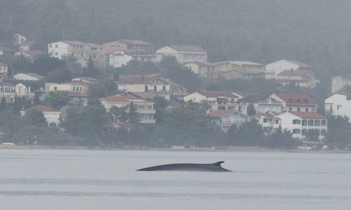 PHOTOS: Citizen scientists help scientists find fin whale in Croatia's Adriatic Sea