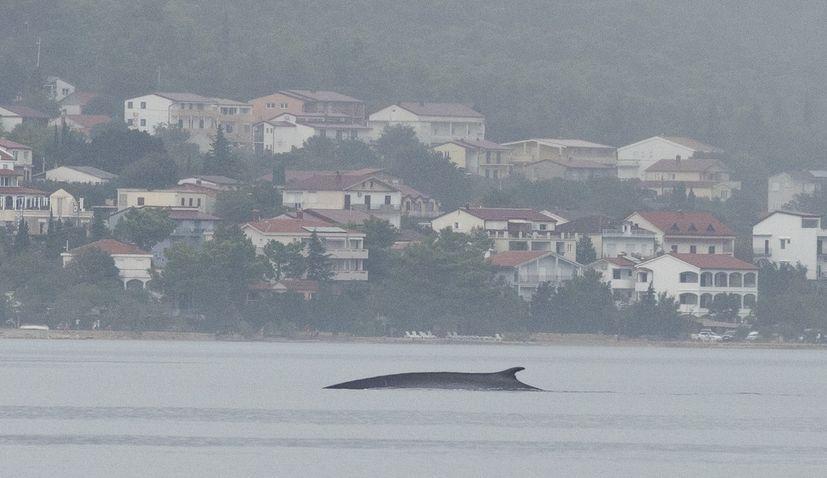 PHOTOS: Citizen scientists help scientists find fin whale in Croatia's Adriatic Sea