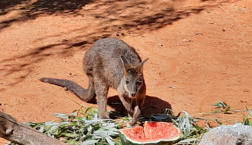 VIDEO: Zagreb Zoo welcomes cute baby wallaby
